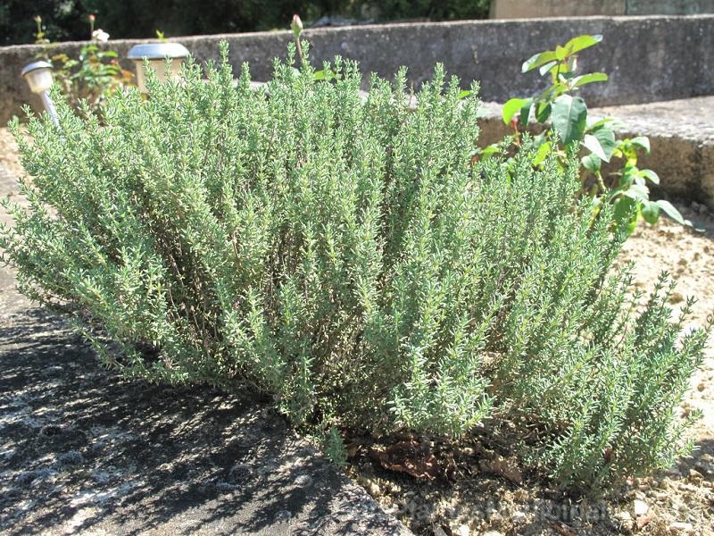 Plantas arom ticas revista alta gama - Plantas aromaticas interior ...