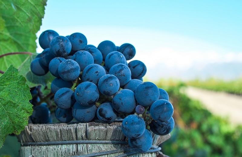 El malbec argentino, un vino para celebrar todos los años